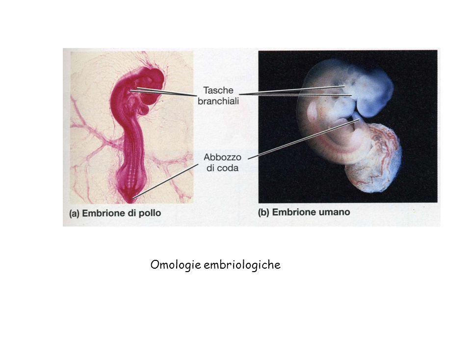 Omologie embriologiche