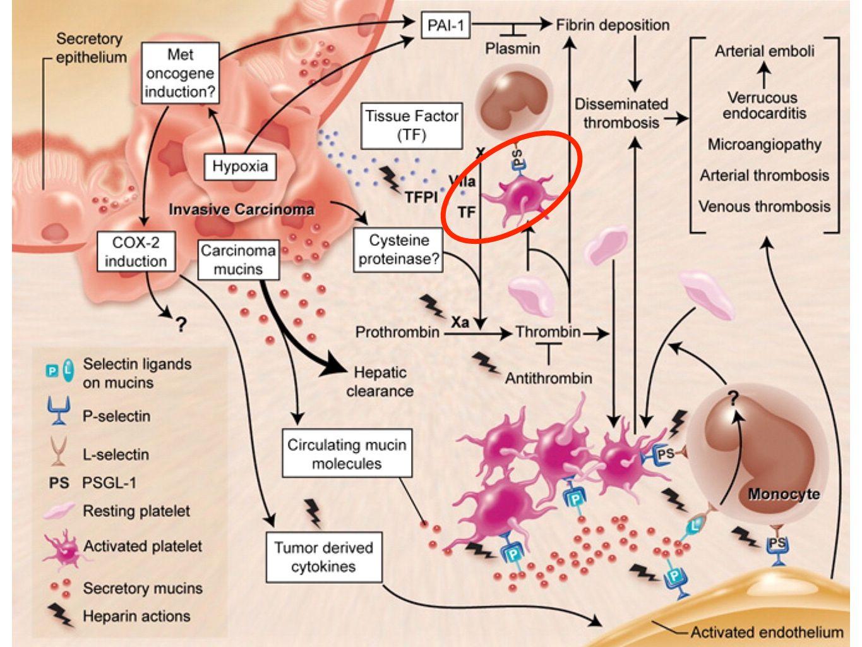 fVIIa fattore tissutale (TF) Xa X VIIa TF (fosfolipidi, Ca ++ ) via estrinseca