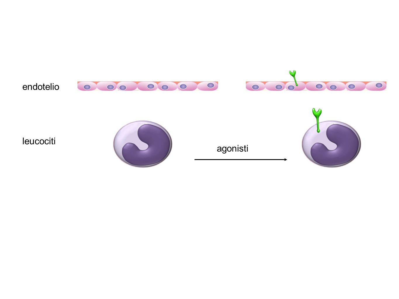 agonisti endotelio leucociti