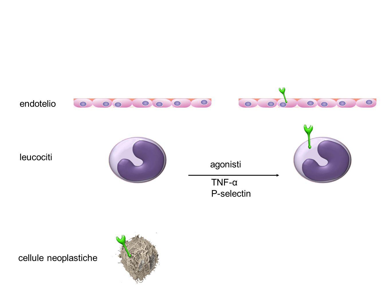 endotelio leucociti cellule neoplastiche agonisti TNF-α P-selectin