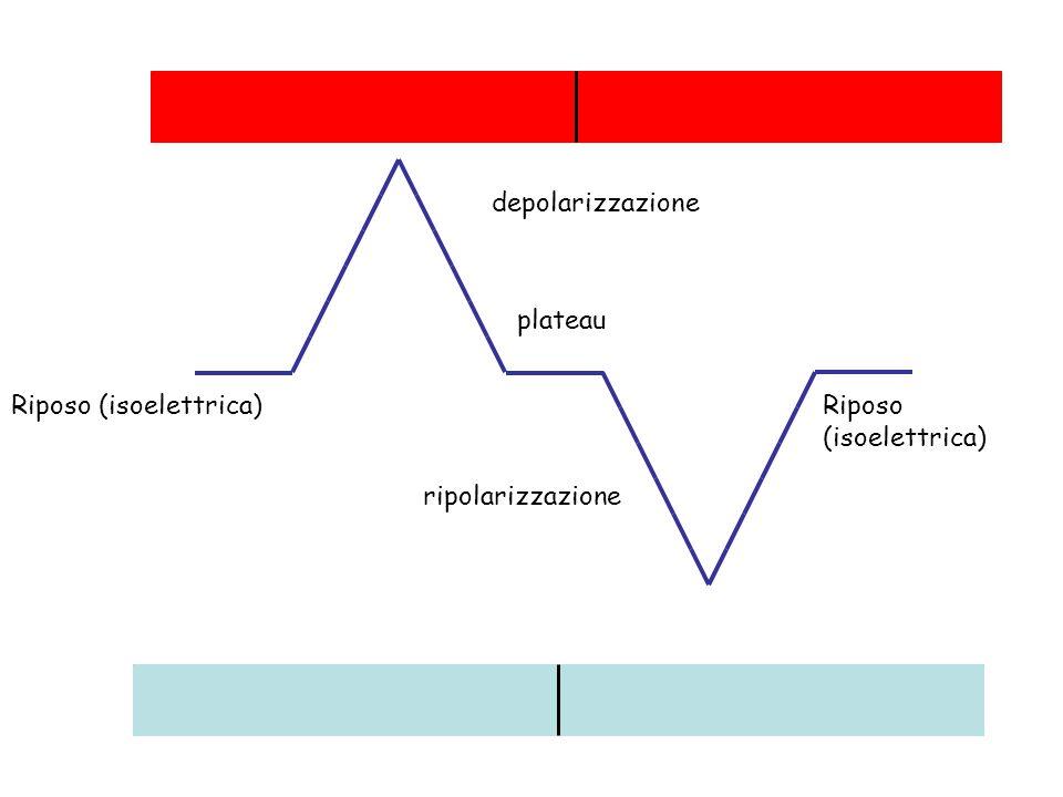depolarizzazione ripolarizzazione plateau Riposo (isoelettrica)