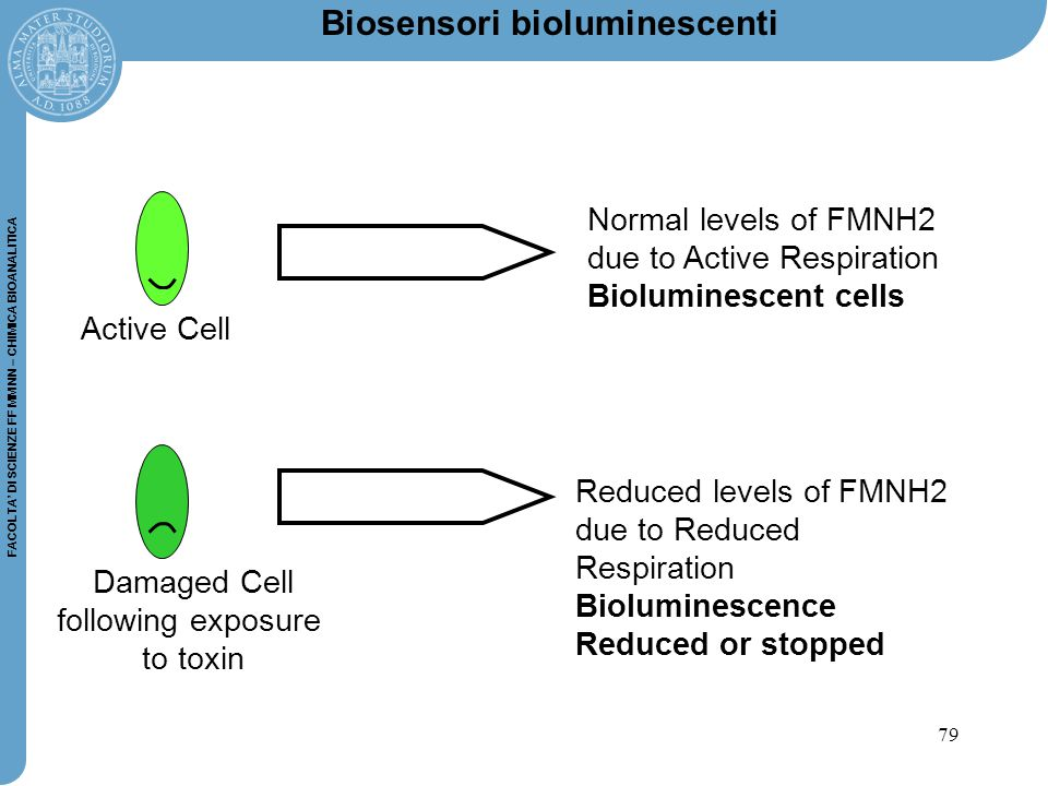 79 FACOLTA' DI SCIENZE FF MM NN – CHIMICA BIOANALITICA Active Cell Damaged Cell following exposure to toxin Normal levels of FMNH2 due to Active Respiration Bioluminescent cells Reduced levels of FMNH2 due to Reduced Respiration Bioluminescence Reduced or stopped Biosensori bioluminescenti