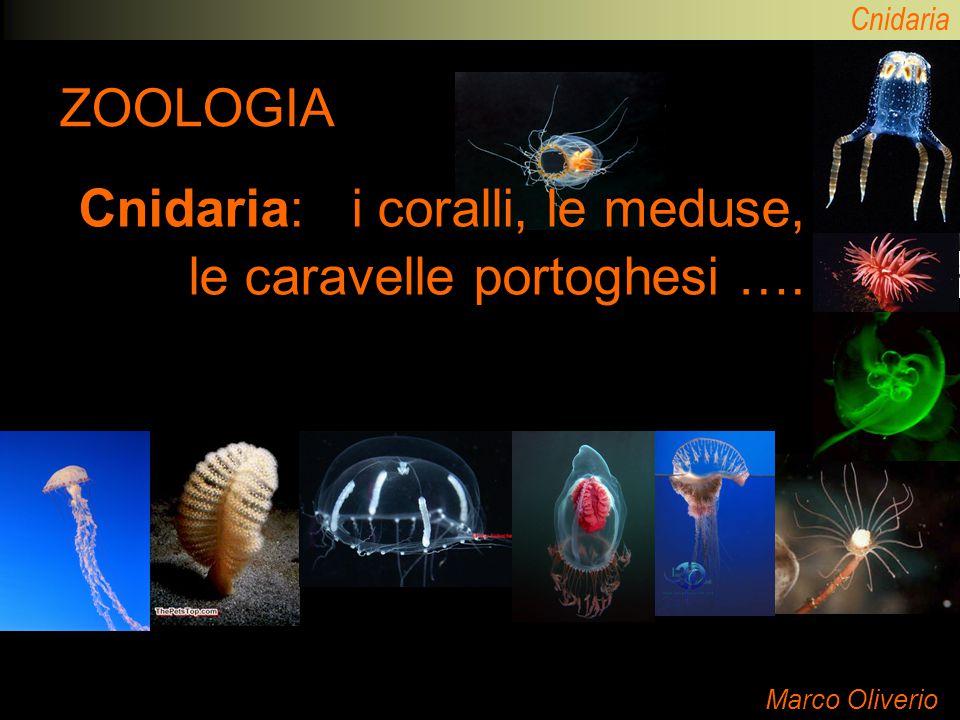 Cnidaria ZOOLOGIA Marco Oliverio Cnidaria: i coralli, le meduse, le caravelle portoghesi ….