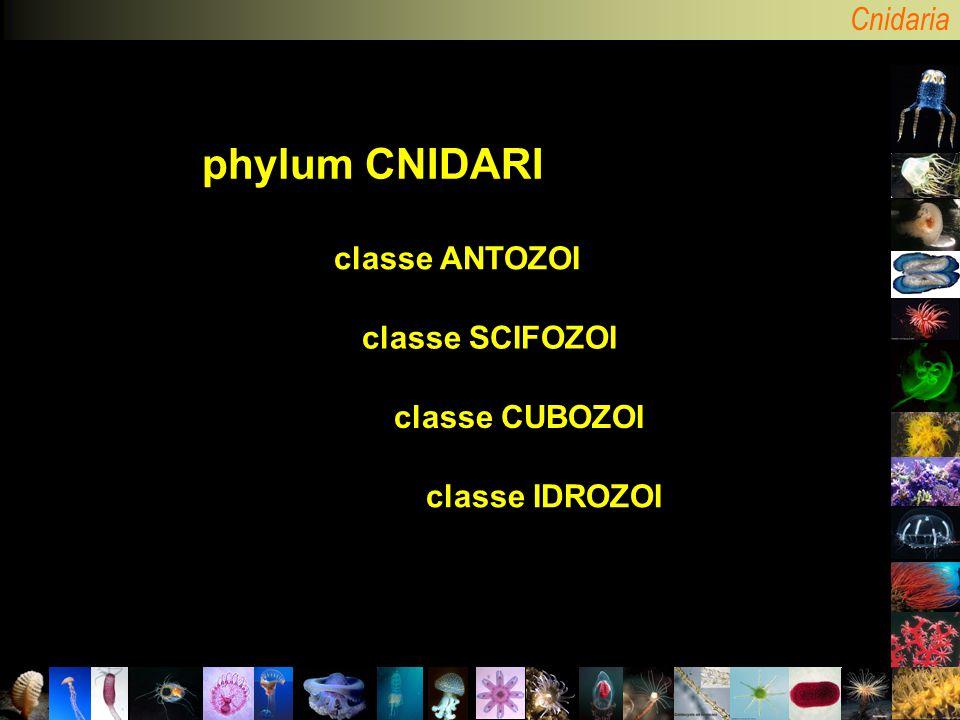 Cnidaria phylum CNIDARI classe IDROZOI classe SCIFOZOI classe CUBOZOI classe ANTOZOI