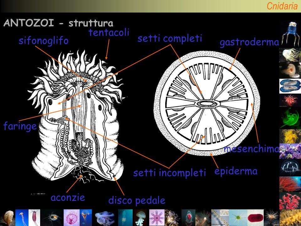 ANTOZOI - struttura tentacoli epiderma gastroderma mesenchima setti incompleti setti completi aconzie disco pedale faringe sifonoglifo