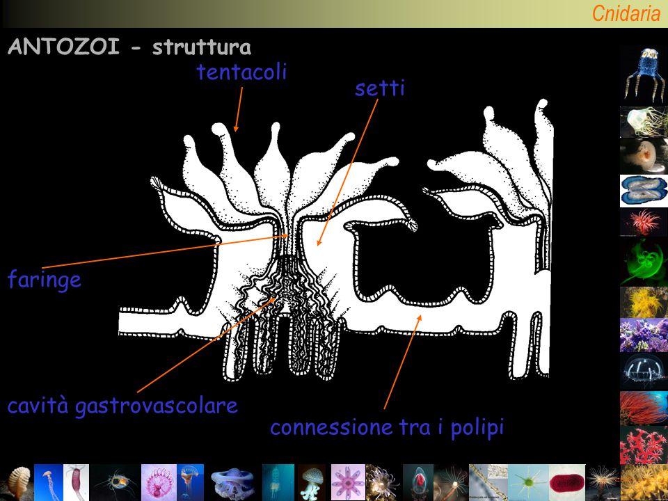 Cnidaria CNIDARI – Antozoi: struttura ANTOZOI - struttura tentacoli setti connessione tra i polipi faringe cavità gastrovascolare