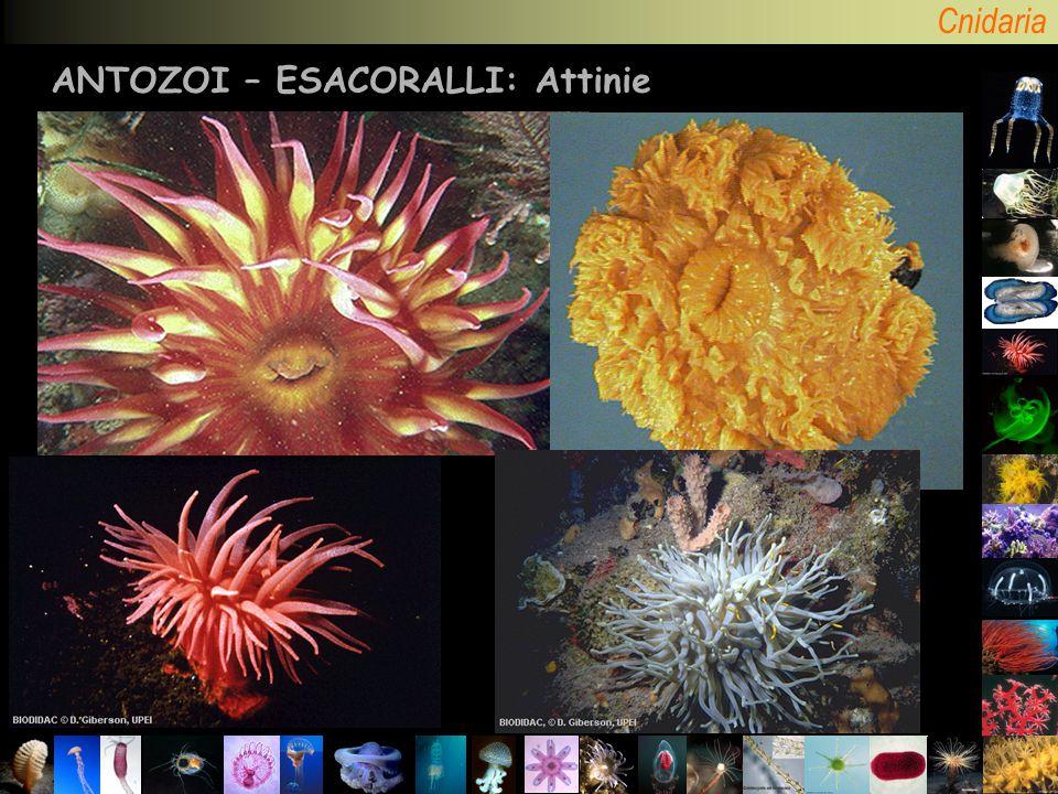 Cnidaria ANTOZOI – ESACORALLI: Attinie