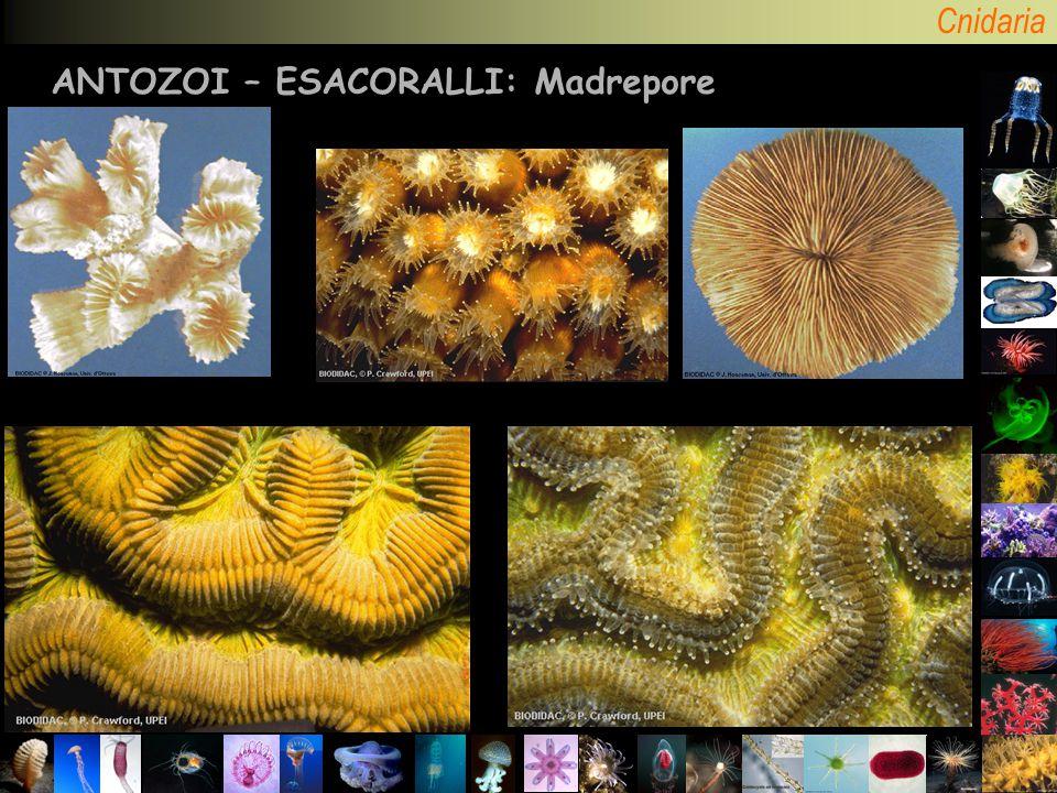 Cnidaria ANTOZOI – ESACORALLI: Madrepore