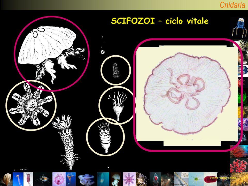 CNIDARI – Scifozoi: ciclo vitale SCIFOZOI – ciclo vitale