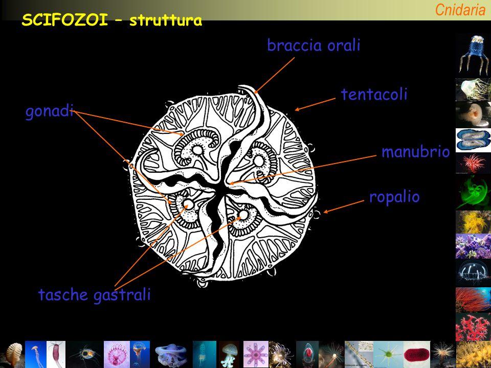 Cnidaria SCIFOZOI – struttura tentacoli ropalio tasche gastrali gonadi manubrio braccia orali