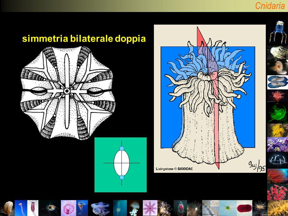 Cnidaria simmetria bilaterale doppia