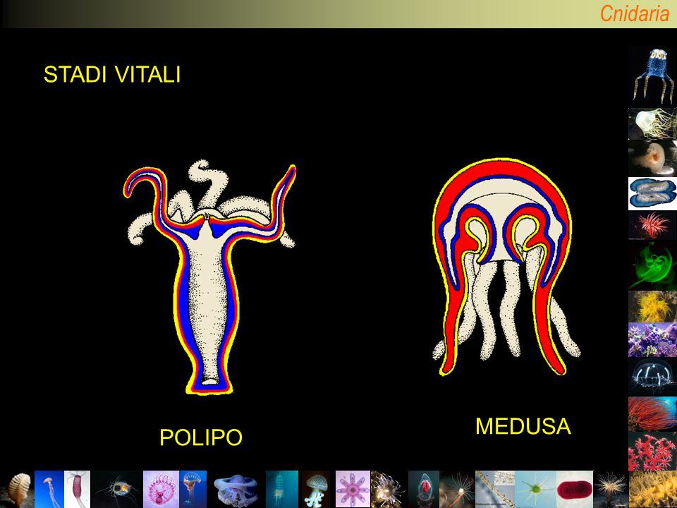 Cnidaria POLIPO MEDUSA STADI VITALI