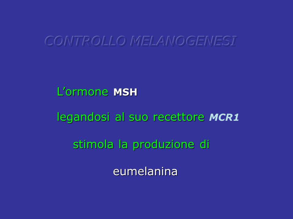 L'ormone MSH legandosi al suo recettore legandosi al suo recettore MCR1 stimola la produzione di stimola la produzione di eumelanina eumelanina
