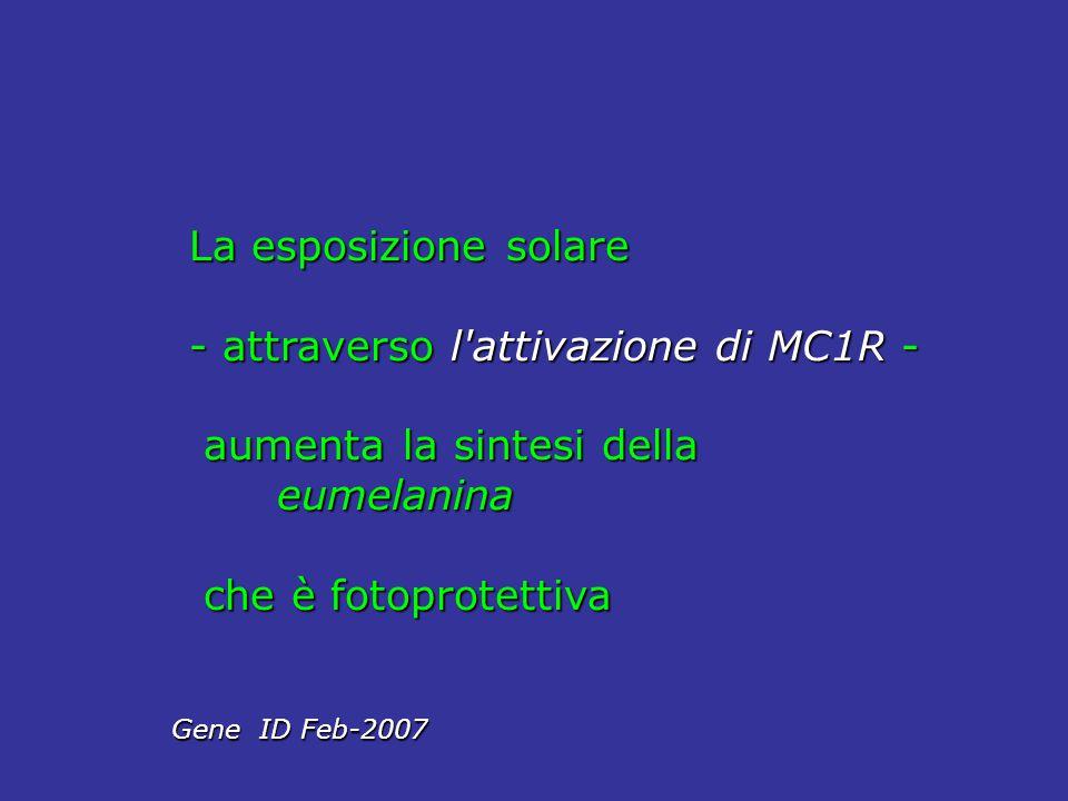 La esposizione solare - attraverso l'attivazione di MC1R - aumenta la sintesi della aumenta la sintesi della eumelanina eumelanina che è fotoprotettiv
