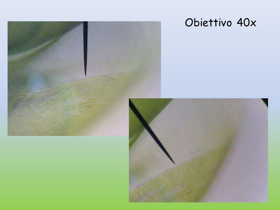 Conclusione: Si osservano le cellule vegetali.