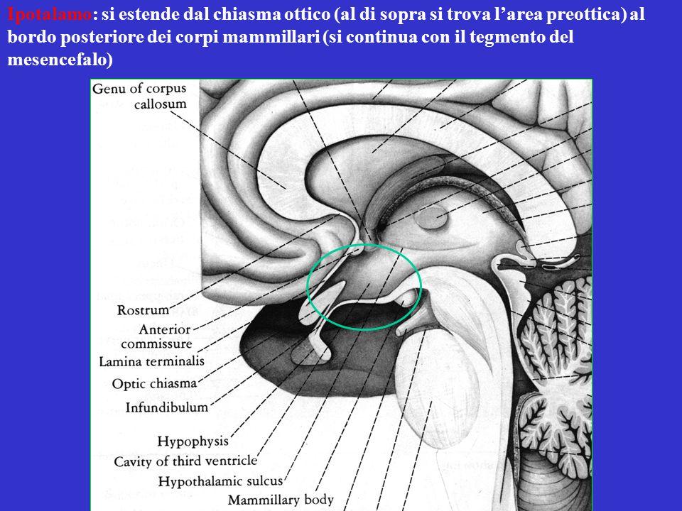 Ipotalamo: si estende dal chiasma ottico (al di sopra si trova l'area preottica) al bordo posteriore dei corpi mammillari (si continua con il tegmento