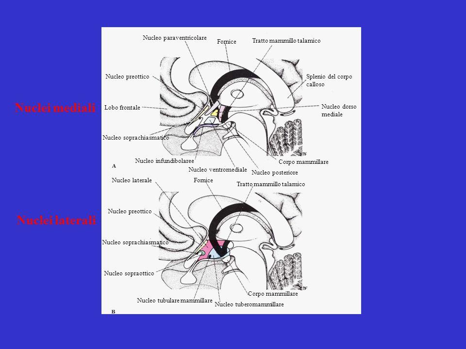 Nucleo paraventricolare Fornice Tratto mammillo talamico Splenio del corpo calloso Nucleo dorso mediale Corpo mammillare Nucleo posteriore Nucleo vent