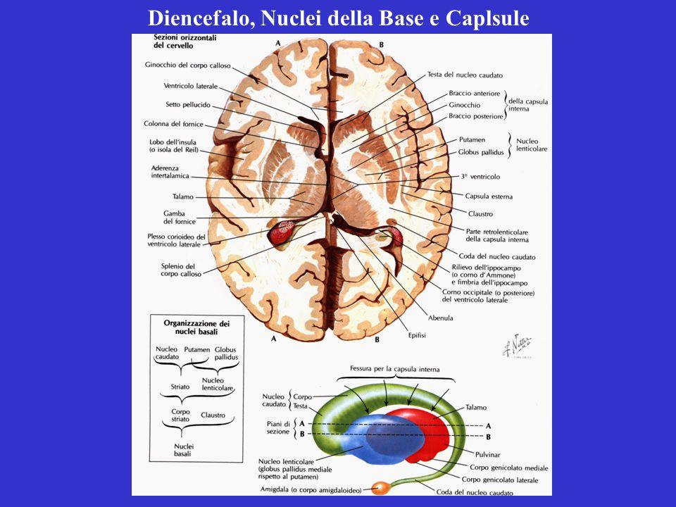 Diencefalo, Nuclei della Base e Caplsule