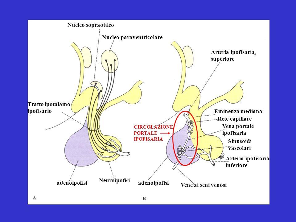 Nucleo sopraottico Nucleo paraventricolare Arteria ipofisaria superiore Tratto ipotalamo- ipofisario Eminenza mediana Rete capillare Vena portale ipof