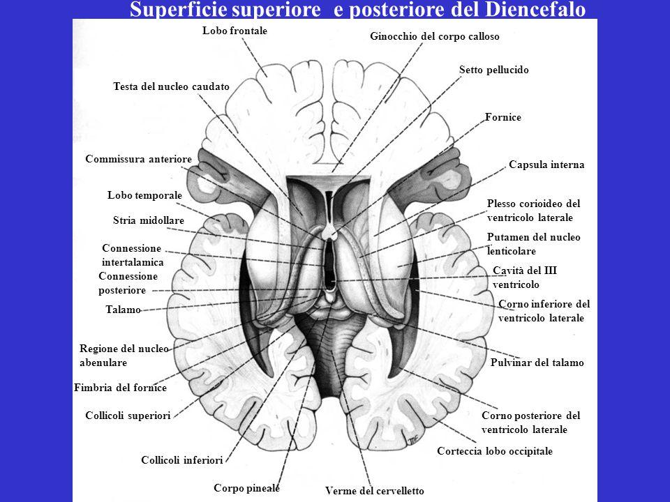 Superficie superiore e posteriore del Diencefalo Testa del nucleo caudato Ginocchio del corpo calloso Setto pellucido Stria midollare Lobo temporale C
