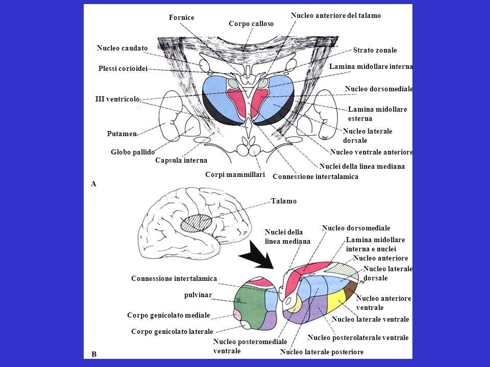Corpo calloso Strato zonale Nucleo anteriore del talamo Fornice Lamina midollare interna Nucleo dorsomediale Nucleo laterale dorsale Lamina midollare