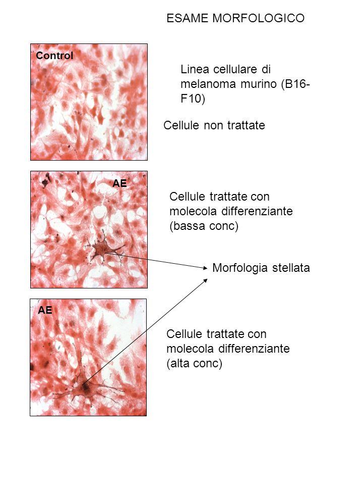 Control AE Linea cellulare di melanoma murino (B16- F10) Cellule non trattate Cellule trattate con molecola differenziante (bassa conc) Cellule tratta