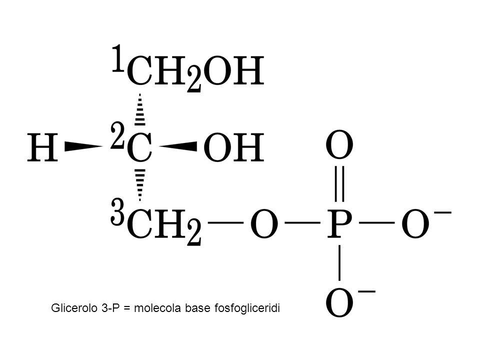 X= colina + di 60 diversi tipi nel sangue (lecitine) Lecitine presenti in tuorlo d'uovo, germe di grano, semi di soia e come additivi emulsionanti ed antiossidanti utili: Esterificano il colesterolo nelle arterie con l'enzima LCAT attraverso le HDL Prevengono stenosi epatica Aumentano colina e acetilcolina nel sangue e cervello Plasmogeni all'O in posizione 1 è legato un idrocarburo  insaturo, presenti nelle cellule nervose e muscolari e nella frazione fosfolipidica del latte