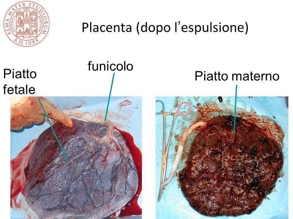 Placenta (dopo l ' espulsione) Piatto fetale Piatto materno funicolo