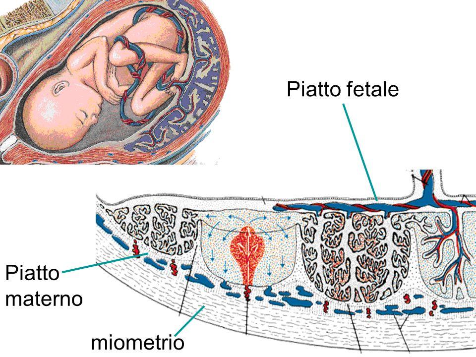 Arteria spirale Arterie ombelicali Vena ombelicale Villi placentari Camera intervillosa