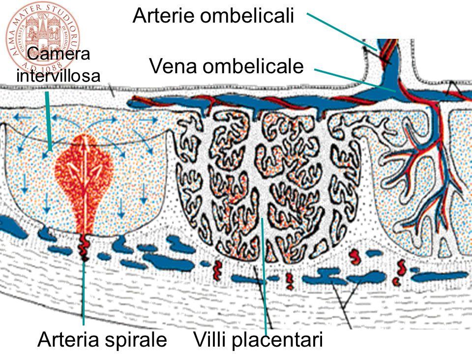 Placental villi (Kaufman: Prenatale Dopplerdiagnostik, 1995) Terminal villi Fetal vessels