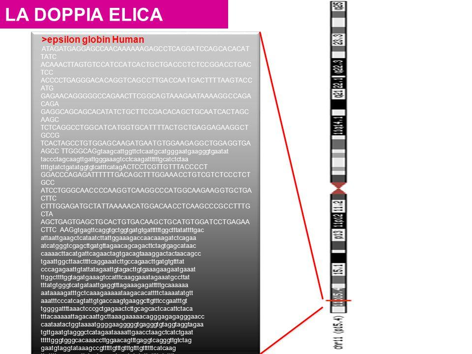 LA DOPPIA ELICA >epsilon globin Human ATAGATGAGGAGCCAACAAAAAAGAGCCTCAGGATCCAGCACACAT TATC ACAAACTTAGTGTCCATCCATCACTGCTGACCCTCTCCGGACCTGAC TCC ACCCCTGA