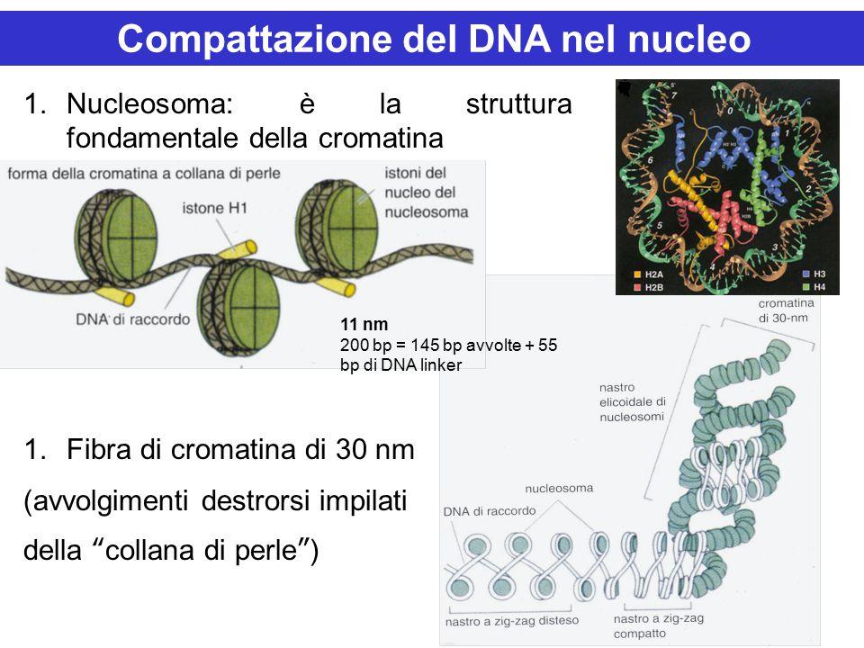 """1.Nucleosoma: è la struttura fondamentale della cromatina 1.Fibra di cromatina di 30 nm (avvolgimenti destrorsi impilati della """"collana di perle"""") Com"""
