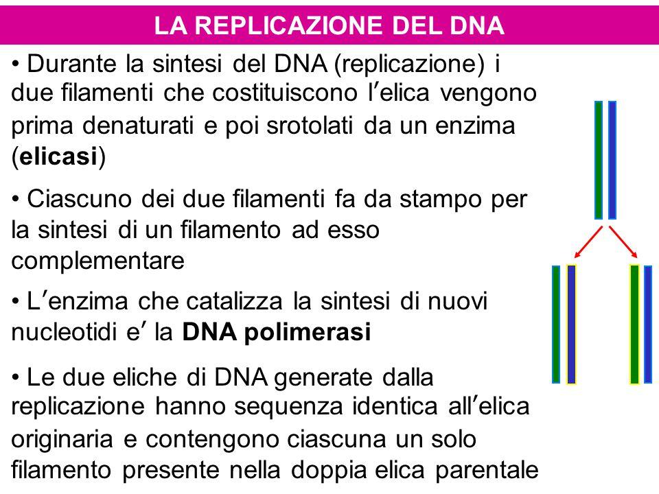 LA REPLICAZIONE DEL DNA Durante la sintesi del DNA (replicazione) i due filamenti che costituiscono l'elica vengono prima denaturati e poi srotolati d