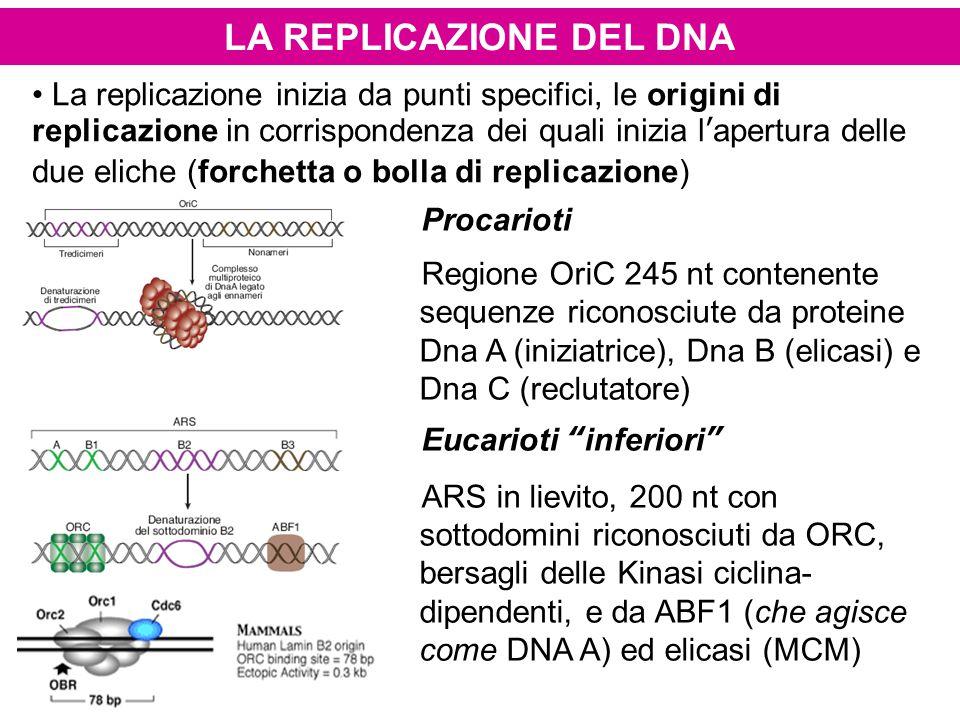 LA REPLICAZIONE DEL DNA La replicazione inizia da punti specifici, le origini di replicazione in corrispondenza dei quali inizia l'apertura delle due