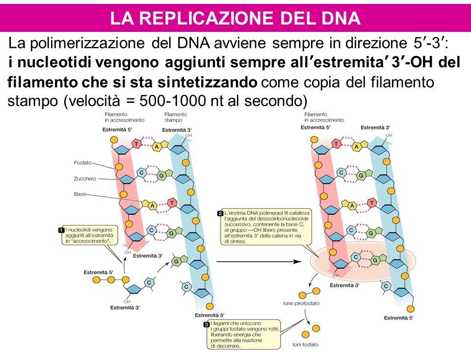LA REPLICAZIONE DEL DNA La polimerizzazione del DNA avviene sempre in direzione 5'-3': i nucleotidi vengono aggiunti sempre all'estremita' 3'-OH del f