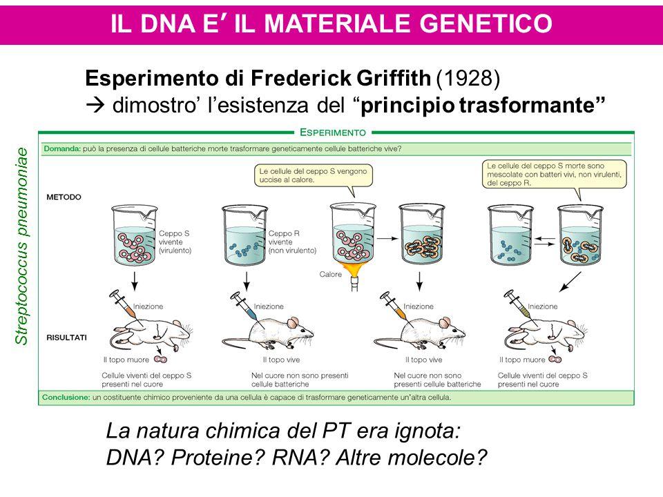 """IL DNA E' IL MATERIALE GENETICO Esperimento di Frederick Griffith (1928)  dimostro' l'esistenza del """"principio trasformante"""" La natura chimica del PT"""