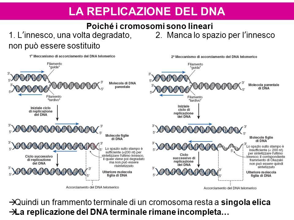 Poiché i cromosomi sono lineari 1. L'innesco, una volta degradato,2. Manca lo spazio per l'innesco non può essere sostituito  Quindi un frammento ter