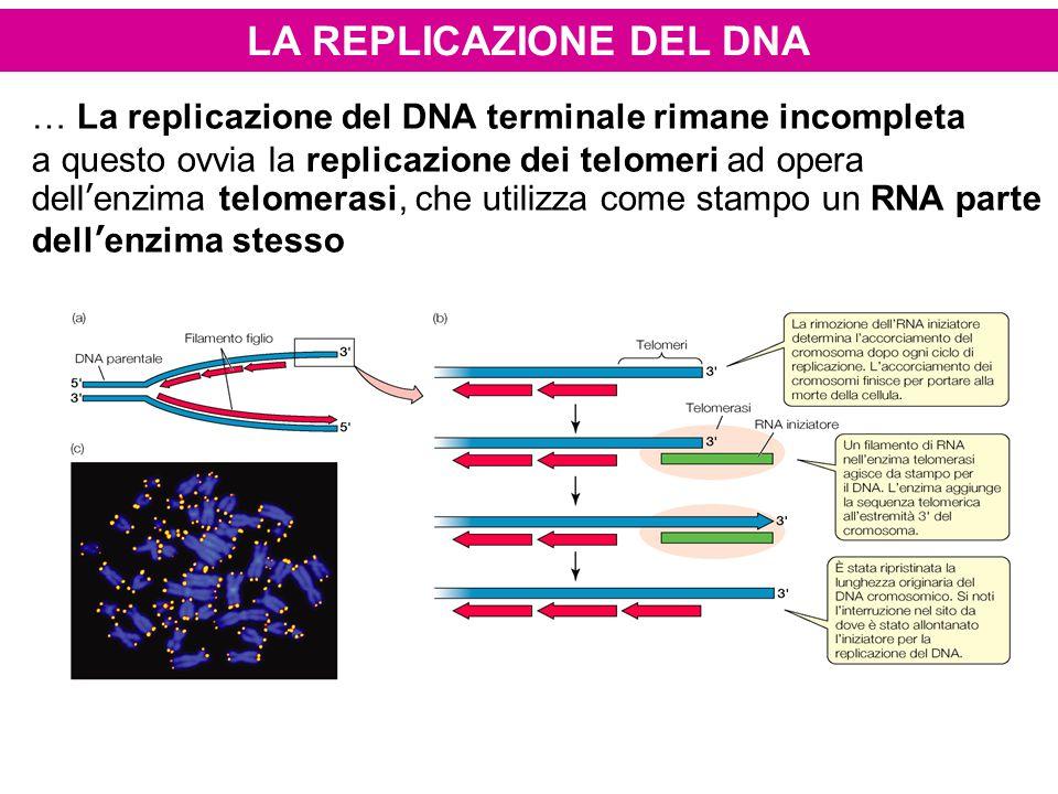LA REPLICAZIONE DEL DNA … La replicazione del DNA terminale rimane incompleta a questo ovvia la replicazione dei telomeri ad opera dell'enzima telomer