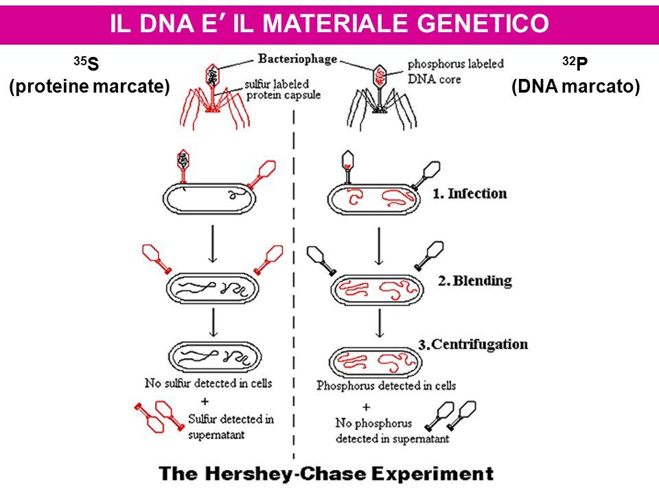IL DNA E' IL MATERIALE GENETICO 35 S (proteine marcate) 32 P (DNA marcato)