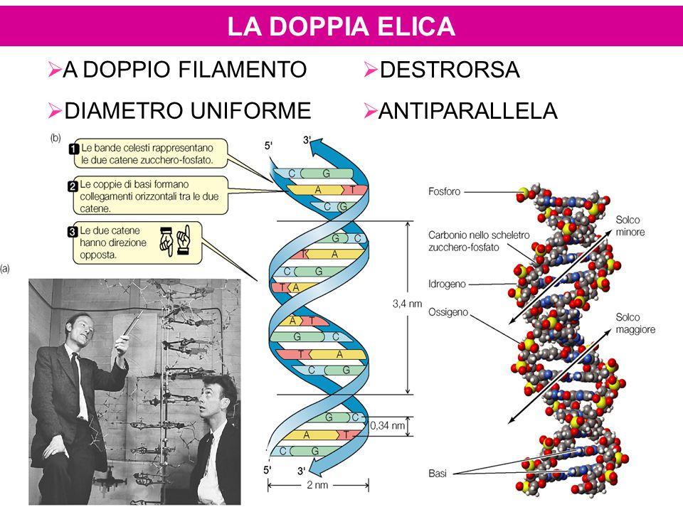 LA REPLICAZIONE DEL DNA Le DNA polimerasi DNA-dipendenti sono gli enzimi responsabili della sintesi di polideossinucleotidi in direzione 5'-3' Esse necessitano sempre di un filamento primer (innesco) per iniziare la sintesi, ovvero sono in grado di aggiungere nucleotidi ad un 3'-OH per dare inizio alla sintesi del DNA sono necessari primer a RNA (RNA+DNA), sintetizzati dall'enzima -DNA primasi, poi estesi da DNA polII (procarioti) -DNA polimerasi α, poi δ (eucarioti) 3'-OH5'5' DNA stampo RNA primer Nuovo filamento di DNA