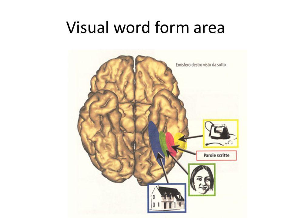 Risponde alla percezione invariante di forme elementari che il cervello seleziona durante la sua crescita; Nelle persone non alfabetizzate responsabile del riconoscimento di volti e in parte oggetti.