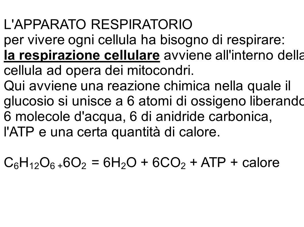 L APPARATO RESPIRATORIO per vivere ogni cellula ha bisogno di respirare: la respirazione cellulare avviene all interno della cellula ad opera dei mitocondri.
