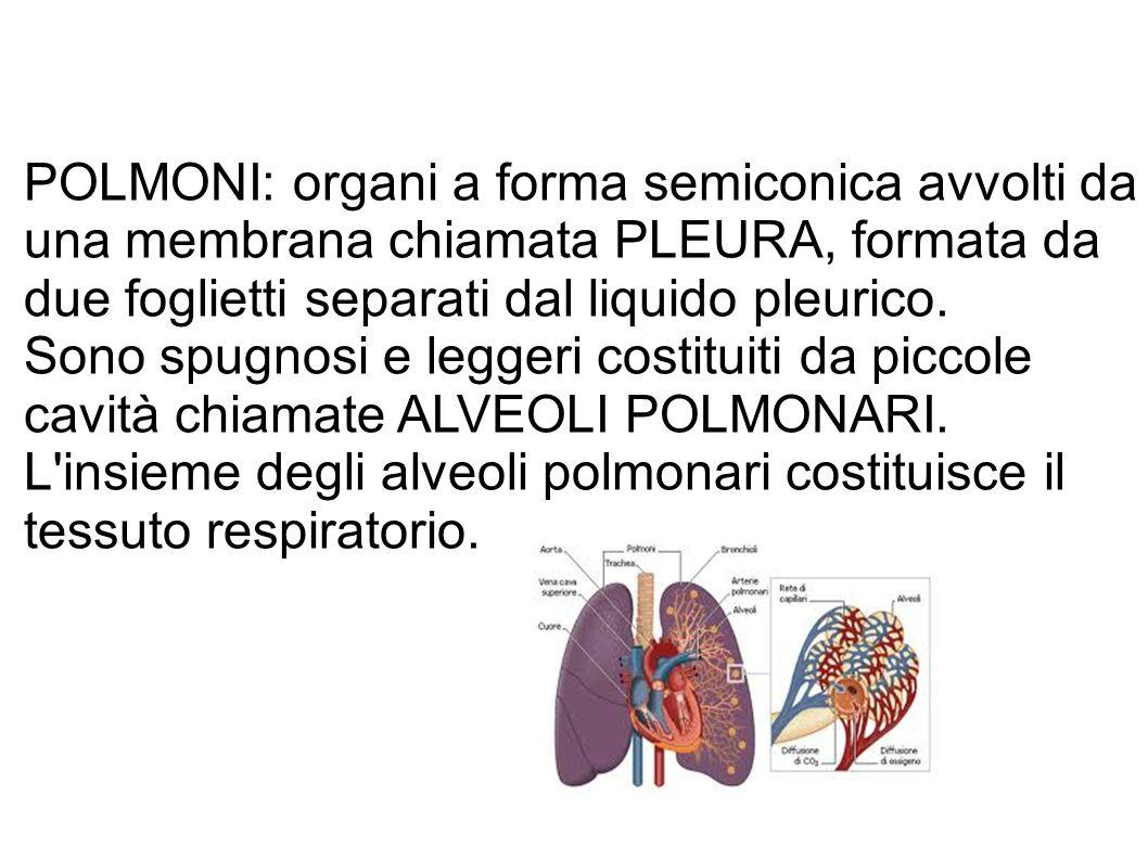 POLMONI: organi a forma semiconica avvolti da una membrana chiamata PLEURA, formata da due foglietti separati dal liquido pleurico.