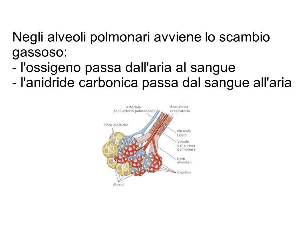 Negli alveoli polmonari avviene lo scambio gassoso: - l ossigeno passa dall aria al sangue - l anidride carbonica passa dal sangue all aria