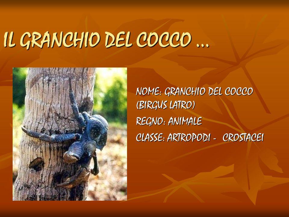 NOME: GRANCHIO DEL COCCO (BIRGUS LATRO) REGNO: ANIMALE CLASSE: ARTROPODI -CROSTACEI IL GRANCHIO DEL COCCO …