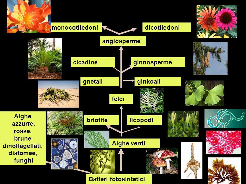 angiosperme dicotiledonimonocotiledoni cicadine ginnosperme gnetaliginkoali felci briofitelicopodi Alghe verdi Batteri fotosintetici Alghe azzurre, ro