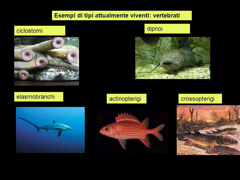 Esempi di tipi attualmente viventi: vertebrati ciclostomi dipnoi crossopterigiactinopterigi elasmobranchi
