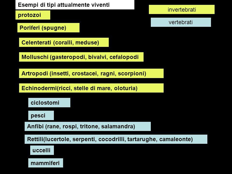 protozoi Poriferi (spugne) Celenterati (coralli, meduse) Molluschi (gasteropodi, bivalvi, cefalopodi Artropodi (insetti, crostacei, ragni, scorpioni)
