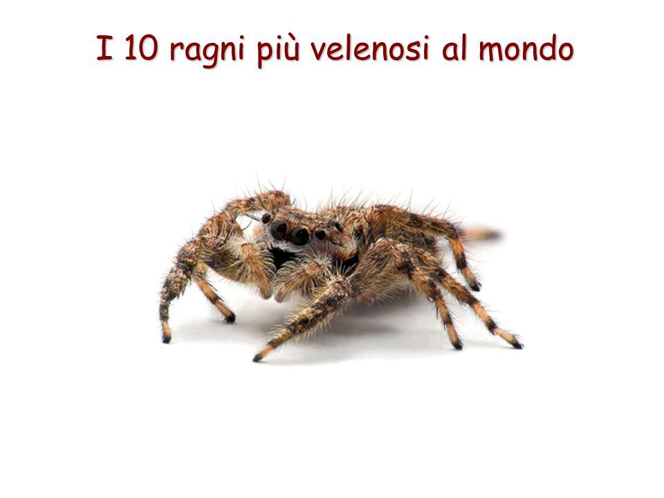 I 10 ragni più velenosi al mondo