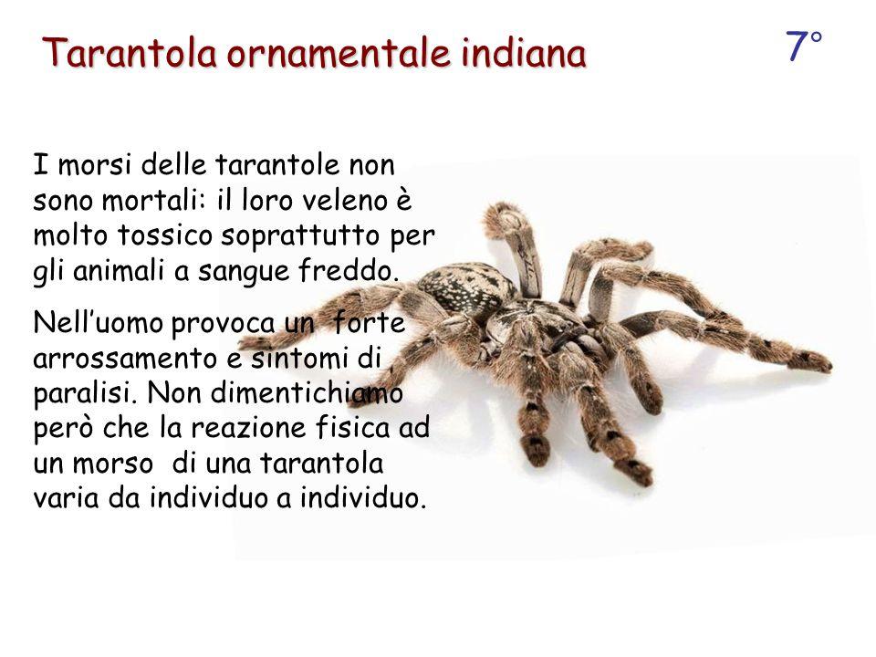 I morsi delle tarantole non sono mortali: il loro veleno è molto tossico soprattutto per gli animali a sangue freddo. Nell'uomo provoca un forte arros
